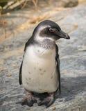 Милый портрет пингвина Стоковое Изображение