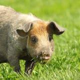 Милый портрет свиньи Стоковые Изображения
