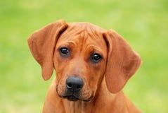 Милый портрет стороны щенка стоковые изображения rf