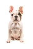 Милый почти белый щенок французского бульдога сидя прямо вверх по смотреть камеру увиденную от изолированного фронта на белом bac стоковые изображения rf