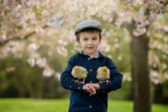 Милый прелестный ребенок дошкольного возраста, мальчик, играя с маленькими цыпленоками стоковое фото rf