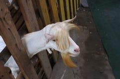 Милый ребенк козы в ферме на рынке Bangnamphung плавая Стоковые Изображения RF