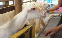 Милый ребенк козы в ферме, ферме концепции, животном, перемещении Таиланде Стоковое Фото