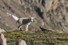 Милый ребенк козы горы в высокогорном стоковое изображение