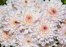 Милый свет - розовый цветок маргаритки Стоковое Фото