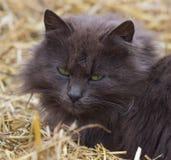 Милый серый кот в соломе Стоковая Фотография RF