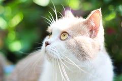 Милый серый кот створки Scottish Стоковые Изображения RF