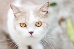 Милый серый кот створки Scottish Стоковое Изображение RF