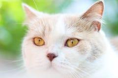 Милый серый кот створки Scottish Стоковое фото RF