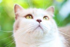 Милый серый кот створки Scottish Стоковое Фото