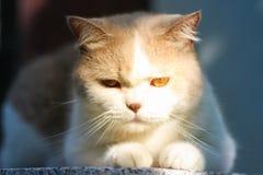 Милый серый кот створки Scottish Стоковая Фотография