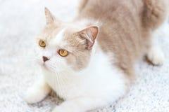 Милый серый кот створки Scottish Стоковые Фотографии RF
