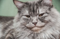 Милый серый кот Стоковое Изображение RF