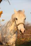 Милый серый портрет пони в paddock Стоковое Изображение RF