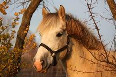 Милый серый портрет пони в paddock Стоковое Фото