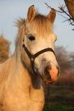 Милый серый портрет пони в paddock Стоковые Изображения RF