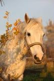 Милый серый портрет пони в paddock Стоковое Изображение