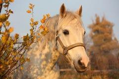 Милый серый портрет пони в paddock Стоковые Фото