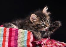 Милый сибирский котенок стоковые фотографии rf