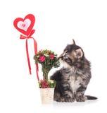 Милый сибирский котенок стоковые изображения rf