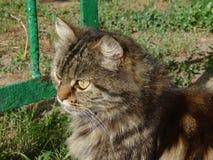 Милый сибирский кот Стоковые Фотографии RF