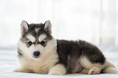 Милый сибирский щенок стоковое изображение