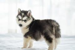 Милый сибирский щенок стоковые изображения