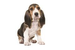 Милый сидя выход пластов artesien щенок normand на предпосылке бирюзы Стоковые Фотографии RF