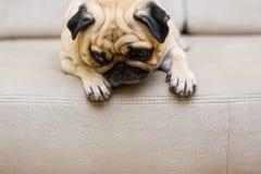 Милый сон софы собаки щенка мопса Стоковые Фотографии RF