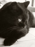 Милый спокойный кот Стоковое Изображение