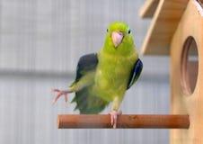 Милый Тихий океан зеленый цвет Forpus Parrotlet Стоковые Изображения