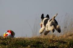 милый ход собаки Стоковые Изображения RF