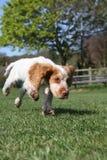 Милый ход щенка Стоковые Фото