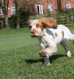 Милый ход щенка Стоковая Фотография RF