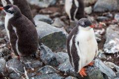 Милый цыпленок пингвина Gentoo на утесе в Антарктике Стоковые Изображения RF