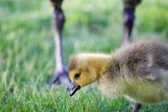 Милый цыпленок под защитой Стоковая Фотография