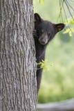 Милый черный медведь Cub Стоковые Изображения RF
