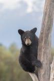 Милый черный медведь Cub Стоковые Изображения