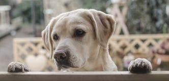 Милый щенок лаборатории Стоковое фото RF