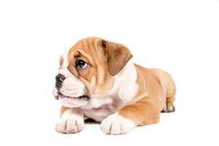 Милый щенок английского бульдога Стоковые Фотографии RF