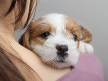 Милый щенок лежа на человеческом плече и смотря камеру Стоковые Фото