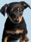 Милый щенок, изолированный на свете - голубой предпосылке Стоковая Фотография RF