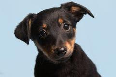 Милый щенок, изолированный на свете - голубой предпосылке Стоковые Изображения RF