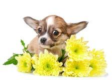 Милый щенок чихуахуа с желтым концом-вверх цветков изолированный на белизне Стоковые Фотографии RF