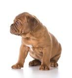 милый щенок Стоковые Изображения RF