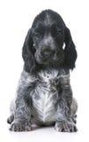 милый щенок Стоковое Изображение