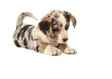 Милый щенок corgi welsh лежа на поле вытаращить на поле как что-то там стоковое фото rf