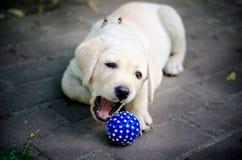 Милый щенок labrador играя с голубым шариком стоковое изображение rf