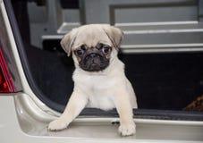 Милый щенок pug Стоковое фото RF