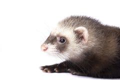 милый ferret Стоковые Фото